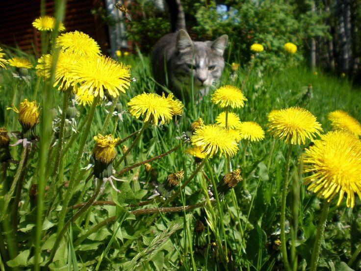 """Kauniit voikukat ©Mapi: """"Toiset vihaa kissoja ja voikukkia, minä rakastan."""""""