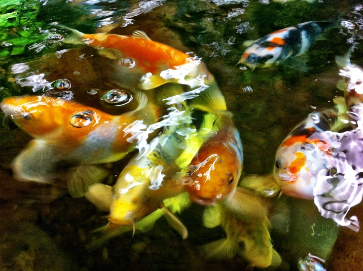 These little guys make amazing pets and they are so beautiful and relaxing to watch!  For more info visit: http://www.iloveponds.com/koi-fish.html