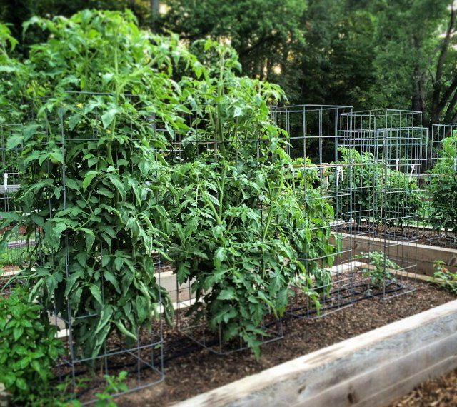 Good tomato cages for raised bed vegetable gardens.