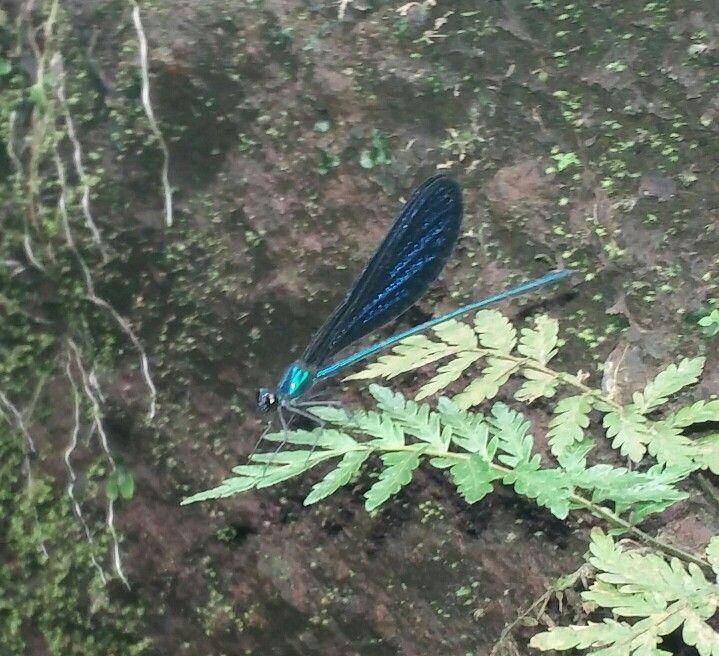 Blue dragonfly at Curug Nangka...