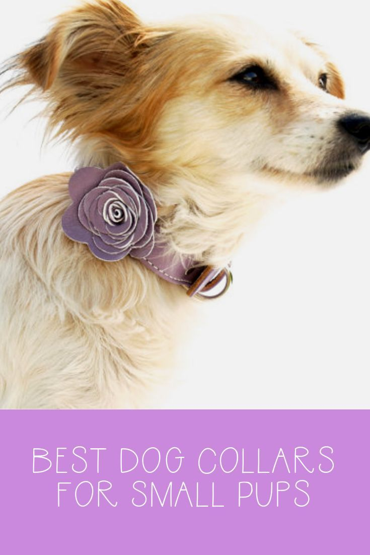 Best Small Dog Collars Best Small Dogs Small Dog Collar Dogs