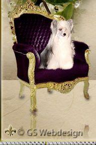 --- GOLDEN SUNPOWER --- Poodle & Chinese Crested Dogs - Pudel und Chinesische Schopfhunde, Chinesische Nackthunde, , Grosspudel, Deckrueden,