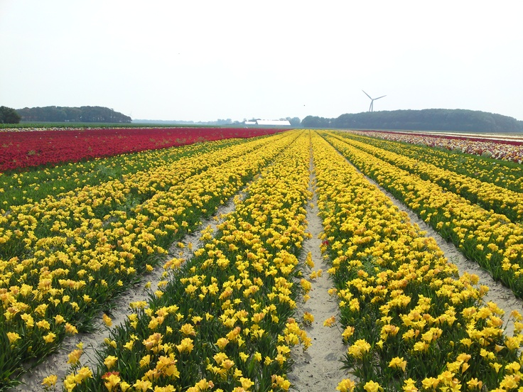 Fields of yellow flowering freesia in Breezand in July 2012.