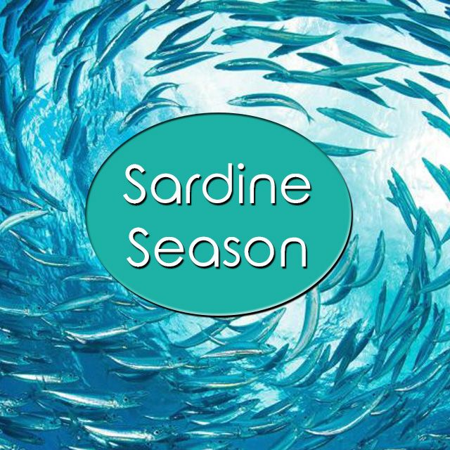 Annual #SardineSeason has become the #greatestshoalonearth – READ MORE HERE Tx @KznSharks #GottaLuvKZN