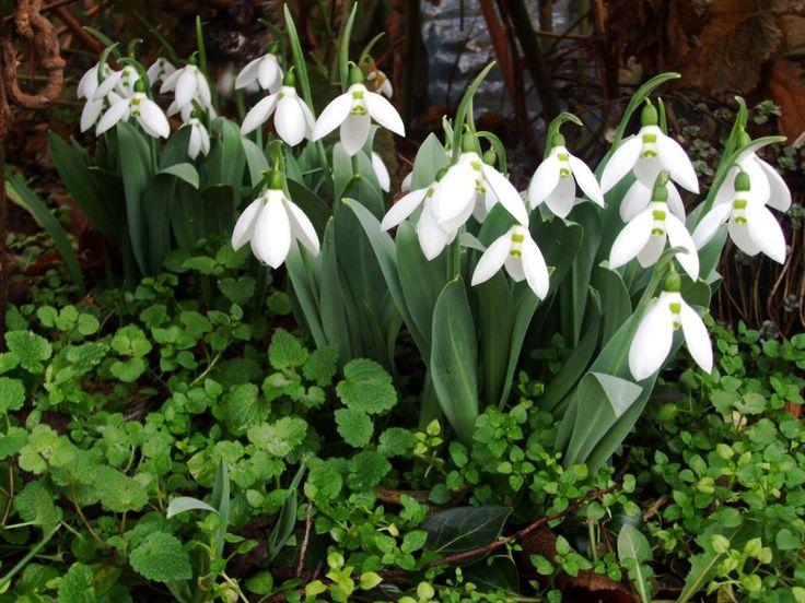 Campanillas de invierno campanillas pinterest for Carson bosque y jardin