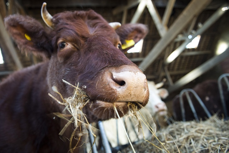 Cow, Beamish Museum, Durham County, England