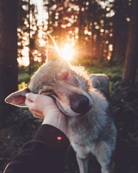 Honza ?? eh ???? ek streichelt seinen tschechoslowakischen Wolfshund namens Sitka in der Tschechischen Republik