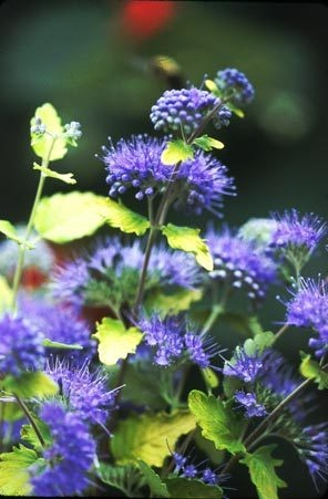 72 Best Images About Caryopteris On Pinterest Sun Blue