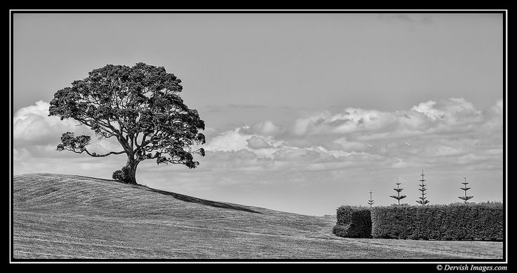 Lone Pohutukawa on a hill, Waiheke Island Auckland New Zealand. The pohutukawa tree (Metrosideros excelsa) with its crimson flower has become an established part of the New Zealand Christmas tradit...