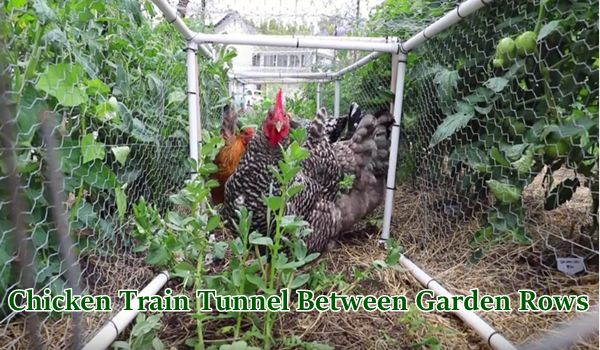 Chicken Train Tunnel Between Garden Rows