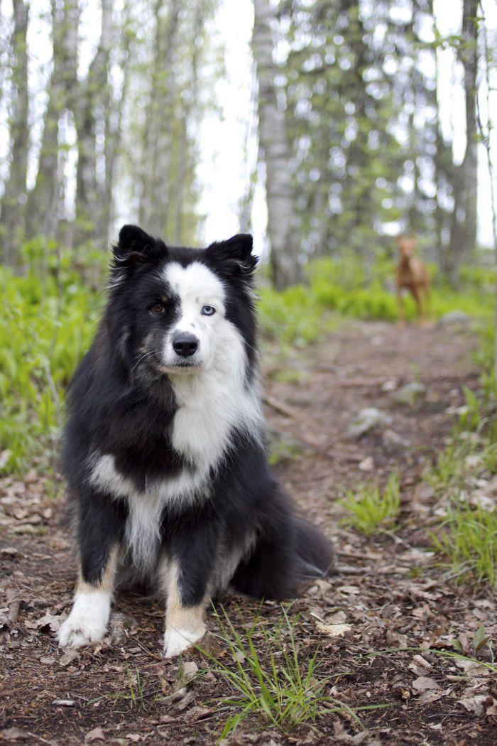 Panda The Finnish Lapphund Beautiful Dogs Animals Beautiful