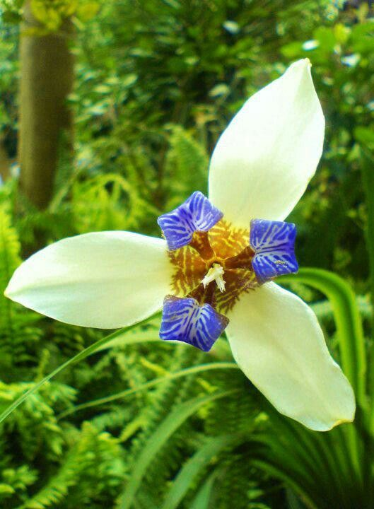 Orchid from Coban, Guatemala