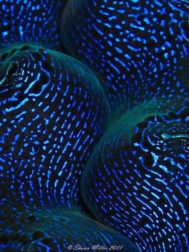 Colours only nature could create so beautifully. Tridacna crocea clam closeup