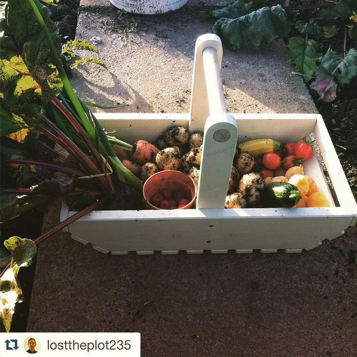 The Spanish gardeners plot! A great harvest In our country cream available for only 19.46  Check out his awesome blog aswell! #Loldeantimber #trug #truglife #handmade #allotment  Follow @losttheplot235  It's been nearly a week since I've visited the plot but it still loves me. Even though this may only be a small harvest there is still plenty more I could've brought back but I didn't want it to go to waste. Here I have potatoes tomatoes beetroot spring onions carrots plums raspberries yellow…