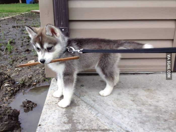 Meet Nanook, a Siberian Husky pup! That's funny.. I've always wanted a Husky names Nanook! The Lost Boys ftw!