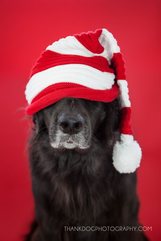 Merry Christmas Thank Dog Photography Lasso Loves