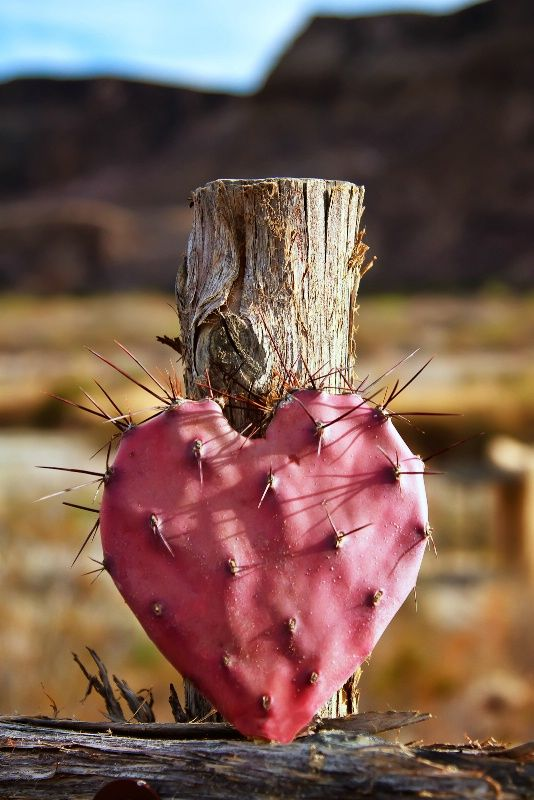 Purple prickly pear shaped like a heart in the Chihuahuan Desert, Texas.