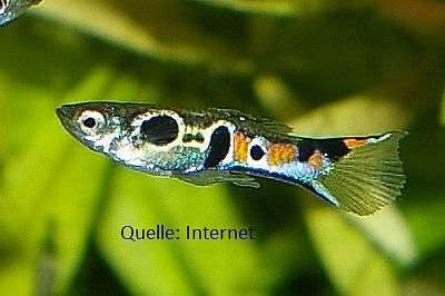 Staeck Endler Guppy - Black Endler