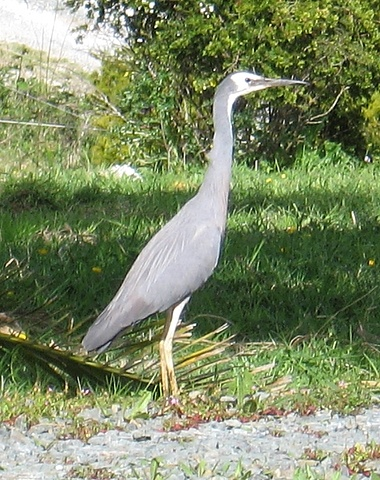 White Face Heron on the driveway #Birds