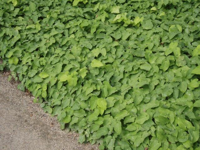 154 best Groundcovers images on Pinterest Garden plants, Ground - heckenpflanzen