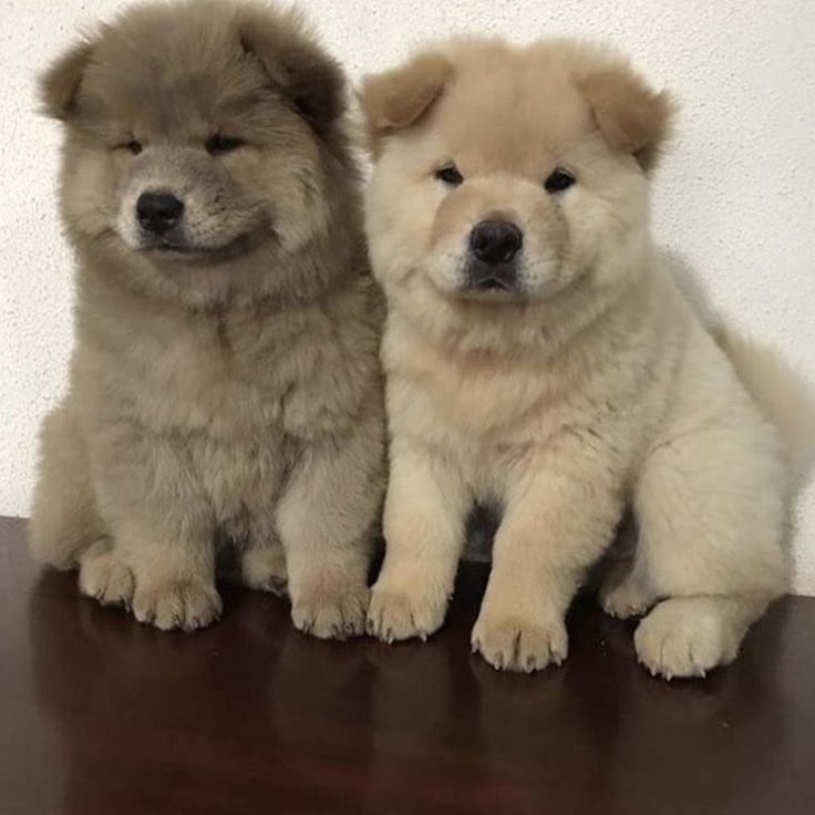 Cute Aesthetic Puppy Dog Dogs Puppies Brown Chow Chow Cute