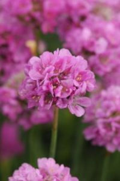 Thrift, Sea Pink - Armeria maritime - Gardening in South Africa