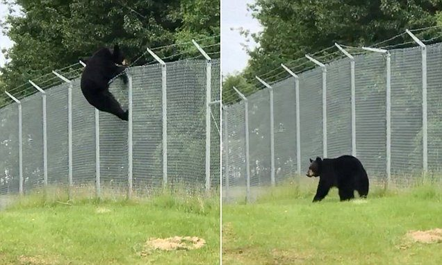 Huge Black Bear Climbs Over A Barbed Wire Fence Barbed Wire