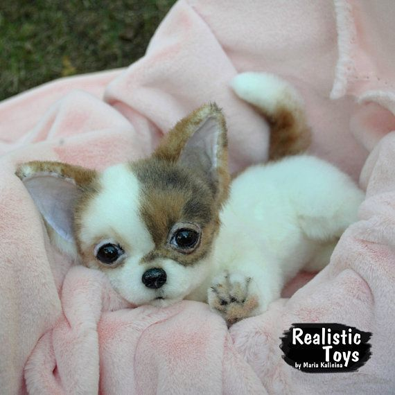 Chihuahua puppy- Isi | Chihuahua | Chihuahua puppies, Dogs