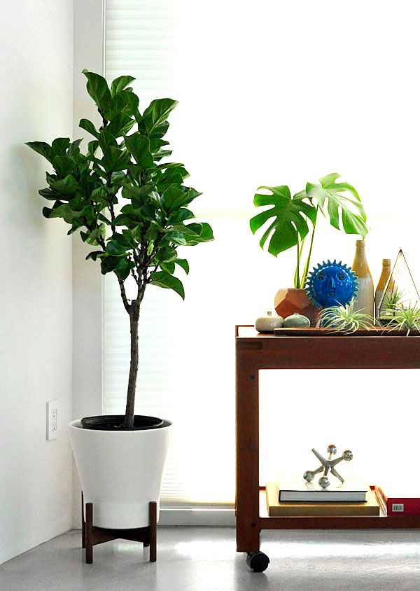 Fiddle Leaf Fig Tree In Mod Ceramic White Container From