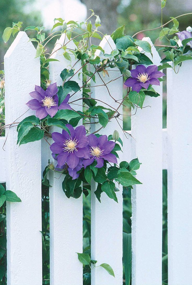 how to grow vines on a wood fence