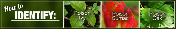 How to identify poison ivy, poison sumac, and poison oak