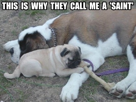 48 best funny pugs images on Pinterest | Funny pugs ...