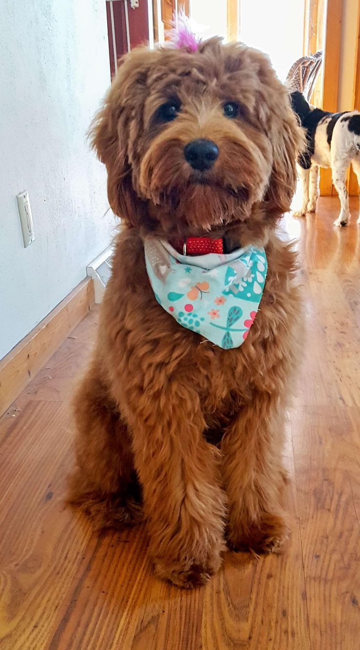 What You Need to Know About Doodle Dog Haircuts