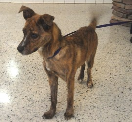 Valerie is an adoptable Whippet Dog in Cincinnati, OH. Valerie is a beautiful young 7 month old puppy. She is only 18 pounds. She has a striking brindle coat, cute expression and wonderful temperament...