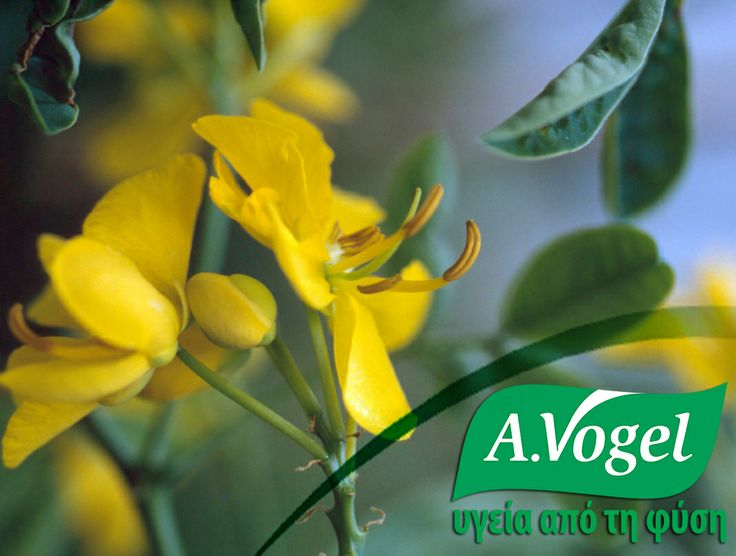 Η σέννα είναι θάμνος που αναπτύσσεται στην Ινδία, το Πακιστάν και την Κίνα. Στη Β.Αφρική και τη Ν.Δ.Ασία έχει χρησιμοποιηθεί παραδοσιακά η σέννα ως ηπακτικό για αιώνες.  Θεωρείται καθαρτικό βότανο, λόγω των καρτικών ιδιοτήτων του και επιπλέον χρησιμοποιούσαν τα φύλλα για την αντιμετώπιση δερματικών παθήσεων, όπως η τριχοφυτία και η ακμή. http://www.avogel.gr/product-finder/avogel/linoforce.php