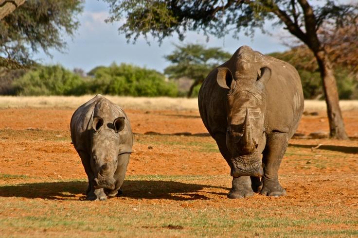 Black Rino's some of the few left in South Africa. In this year only more than 50 were already killed. 900 since 2010