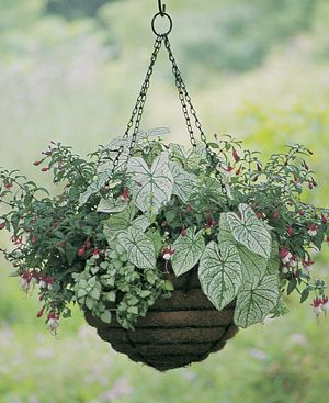 hanging basket with caladium, lamium, and fuschia for the shade