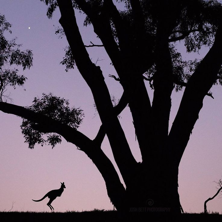 """""""Venus, River Red Gum and Roo""""  Head over to my FB page @JoshBettPhotography to see the camera settings used and get a better feel for how massive this tree is in the uncropped version.  I'm really excited to add this one to my silhouette series. I was happy that I was able frame a roo under a big old River Red Gum tree to give some scale, but I was also lucky enough to have Venus in the background, which adds another whole dimension to scale!  According to the NSW National Parks & Wildlife…"""