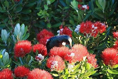 Pohutukawa tree, NZ.  A Tui is feasting on its nectar.