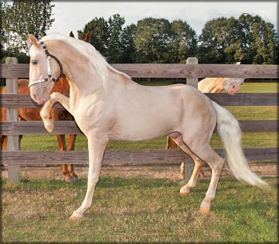"Beautiful color! The Tennessee Walking Horse - ""Look at ole show off!"""