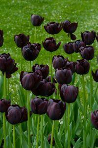 Black tulips: Favorite Flowers, Flowers Plants Tea, Color, Garden Outdoors Flowers, Black Flowers, Gardening, Gardens, Flowers
