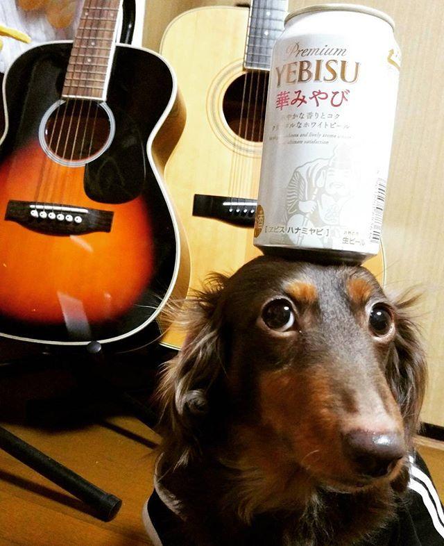 一丁あがり⤴⤴🍺 美味しかったけど😁 私は エビスビール記念館で飲んだ 「ヱビスwith ジョエル・ロブション格別の乾杯」 の方がフルーティーで好きかも…😁😁 ジエジごめん🙏🙏 #さくちゃん#ダックスフンド#ミニチュアダックスフンド#チョコタン#いぬ#わんこ#犬#愛犬#短足部#dachshund#dog#dogstagram#Instadachshund#エビスビール#beer #乗っけるシリーズ No81 ジエジの好きな白いやつ🍺😋