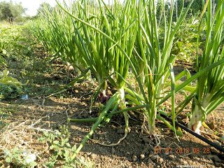 Κρεμμύδια σπορά φύτεμα καλλιέργεια