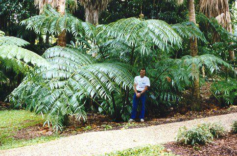 Native Australian ferns. Angiopteris evecta. King fern.