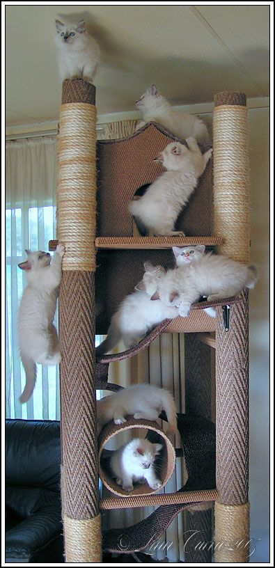 DIY cat tree ideas. These are full of Ragdoll kittens!