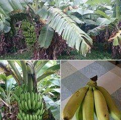 大宜味村塩屋のバナナ畑を見学に来ました バナナはぶら下ってる間は黄色くならないそうです(; tags[沖縄県]