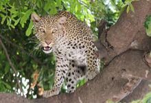 Leopard, Chobe National Park