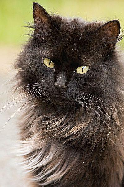 ~ Chantilly/Tiffany Cat ~  (angora and Havana brown cross)