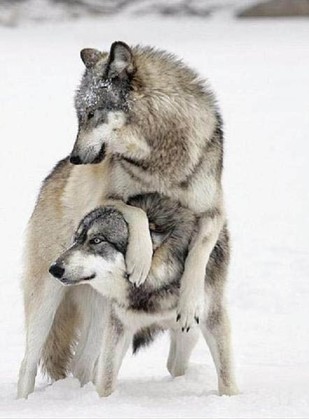 Cover your ears wolfy well I handle talking to the pumas an obviously we will win no worries . Wolves master of every fight they are so adorable can't help my self