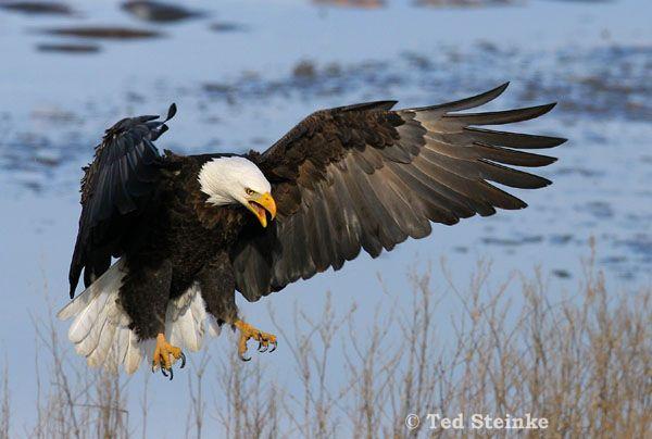 Bald Eagle photo by Ted Steinke Bald eagle, Bald eagle